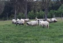 Ljudi širom BiH darovali porodici Humić 23 ovce i devetoro jagnjadi